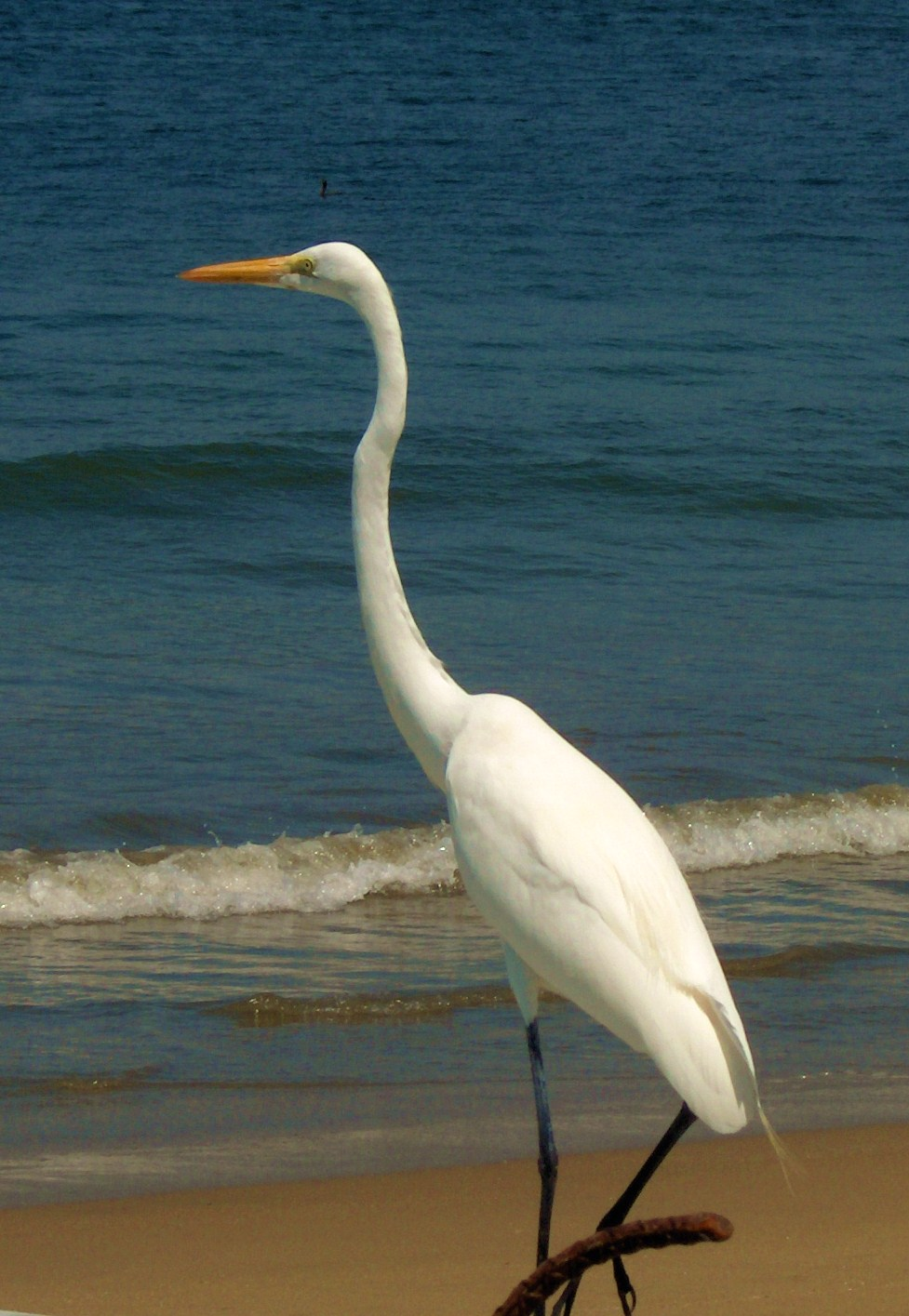 Great Egret on Playa Blanca